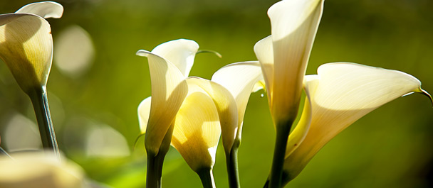 cala lillies